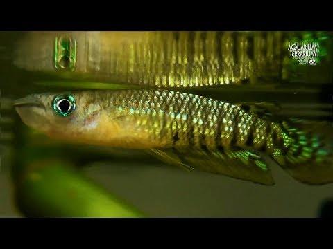 Aplocheilus Videolike