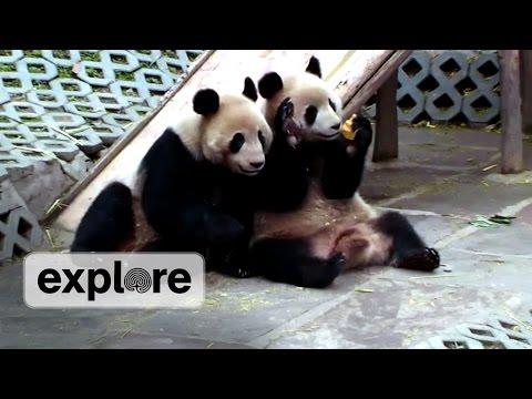 Panda Bear Says