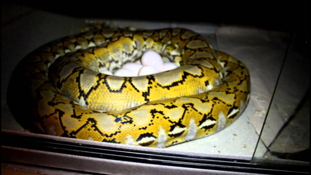 Platinum Reticulated Python Laying Eggs! - YouTube