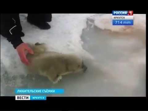 Как вести себя туристу с нерпой, объясняли экологи Байкала, Вести-Иркутск
