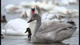 Metalinda - V kŕdli labutí