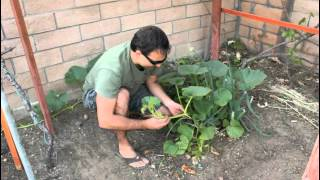 How to Plant Pumpkin Seeds with California Gardener