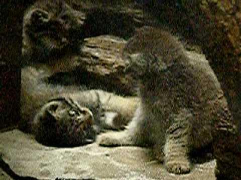 マヌルネコの赤ちゃん(上野動物園)23-仲良し三つ子