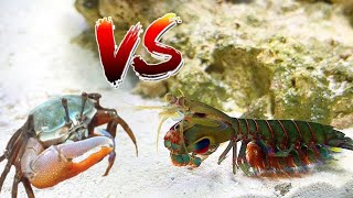 GIANT PET MANTIS SHRIMP VS CRAB! *EPIC Battle ROYALE*
