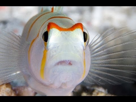Water Colours extract - 'Poor blind shrimp' - (National Geographic underwater film series)