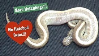 Reviewing a cool Hidden Gene Woma clutch.....got a pair of twins!!!!!