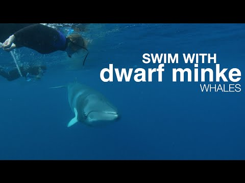 Swim with Dwarf Minke Whales