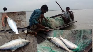 Live ilish(Hilsa) Fish catching in River|ilish fish catching|ইলিশ মাছ