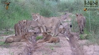 Daughters Of The Mapogo Lions - Rebuilding The Othawa Pride - 36: Together In A Riverbed #youtubeZA