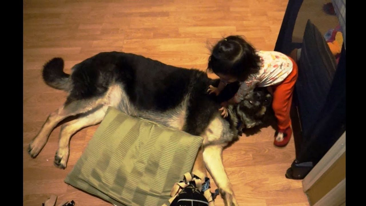 Baby Loves German Shepherd Falls Asleep On German