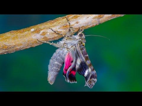 Catocala sponsa - Wstęgówka karmazynka - Eichenkarmin