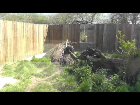 Raccoon Dogs, Axe Valley Wildlife Park (7th May 2013)