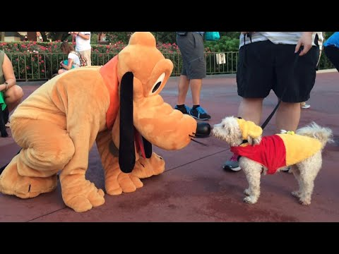 Adorable Service Dogs Meet Pluto At Disneyland | What's Trending Now