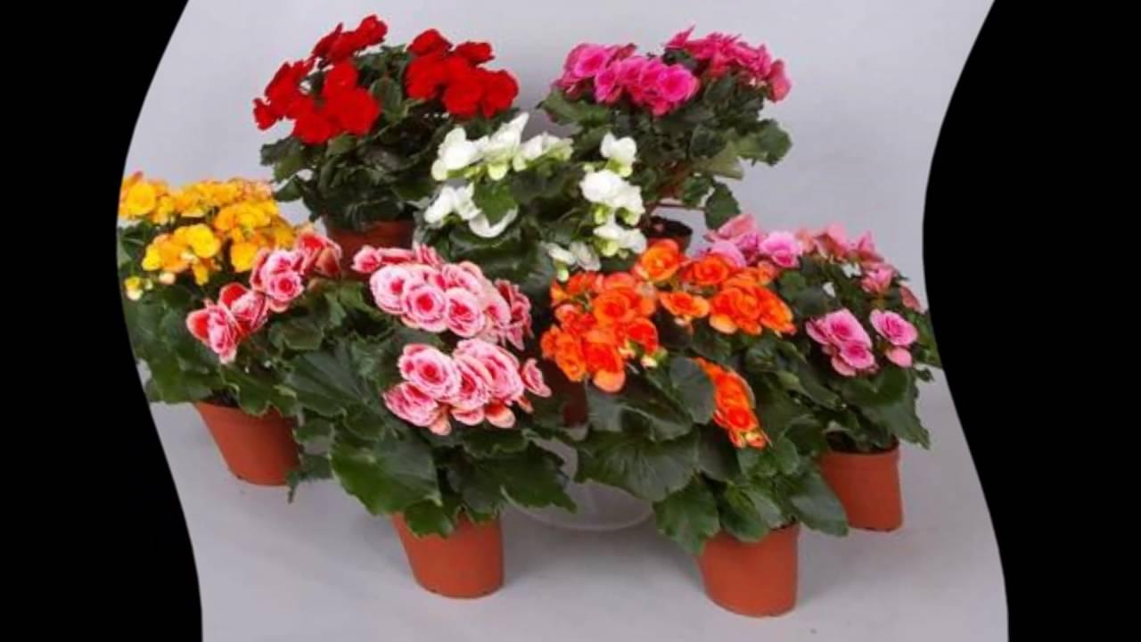 Комнатные цветы бегония уход в домашних условиях