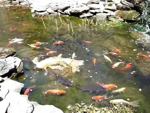 Backyard goldfish koi pond in the spring and first feeding for Goldfish pond