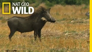One Tough Warthog | Deadly Instincts