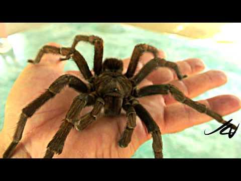 Thumb Tarantula on a hand (HD video)