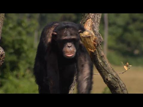 Increíble reacción de unos monos liberados tras 30 años en cautiverio
