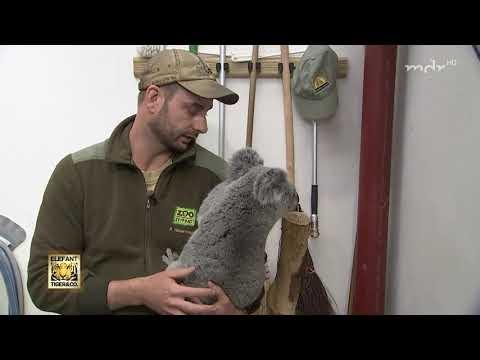 Koala Mandie muss auf die Waage