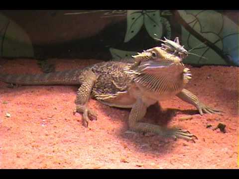 funny bearded dragon feeding moments youtube