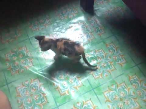 Kucing alay sok jadi preman