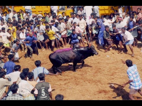 Amazing 2008 Jallikattu video
