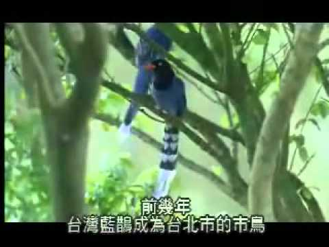 The Story of the Formosan Blue Magpie-   The Taiwan Blue Magpie