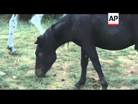 Descendents of Genghis Khan's horses ride Mongolia's grasslands