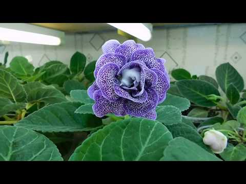 Выращивание глокисинии (фото) советы опытного цветовода по уходу