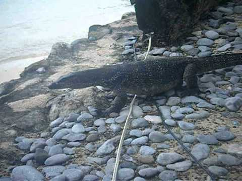 Water Monitor Lizard in EL NIDO RESORT in THE PHILIPPINES