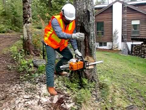 Safely Cutting Large Trees With Chainsaw Using Wedges In Under 3 Minutes video