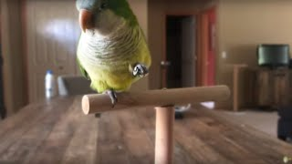 CUTE QUAKER PARROT! (Lefty Learns to Wave!!)
