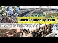 Cage Cultivation Black Soldier Fly - Kandang Lalat Tentara Hitam Indonesia