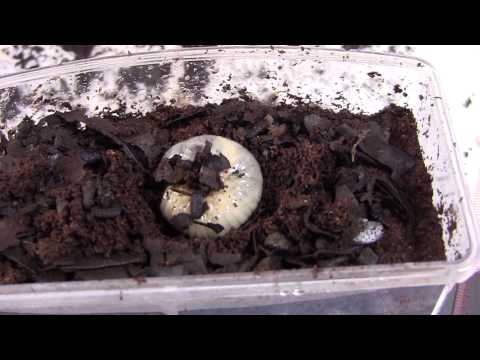 Japanese Rhinoceros Beetle Larvae Music Videos