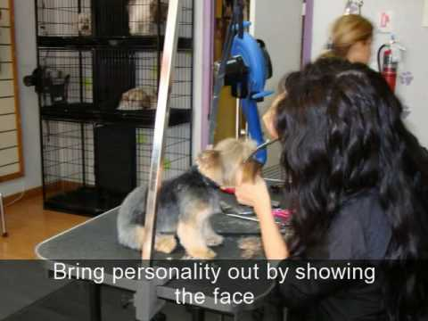 Keno's Pet Grooming How to Groom a Yorkshire (Yorkie)
