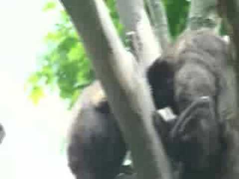 Monkey Sex!funny!poly Gelio!  Part2 video