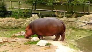 Hippo gets explosive diarrhea.