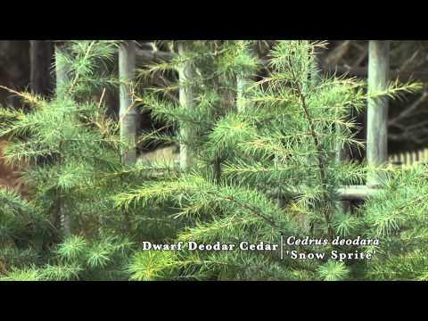 Snow Sprite Deodar Cedar Snow Sprite Deodar Cedar