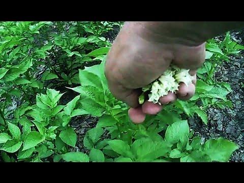 Картофель в период цветения