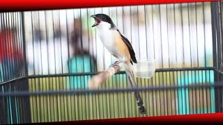 Video Burung Cendet Juara 1   Cendet Jarum Miliknya The Team Ahien Sf