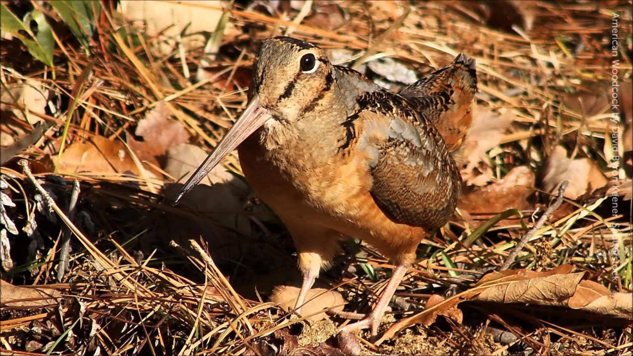 Woodcock bird sound