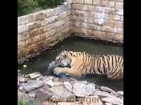 S - SMOOTH OF THE TIGER | Л- ЛОВКОСТЬ ТИГРА!