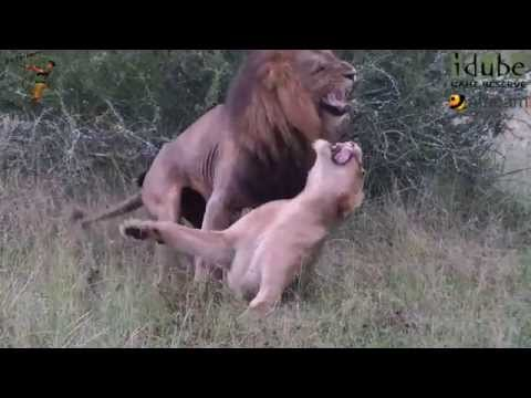Sex In The Wild: Rough Lion Lovers video