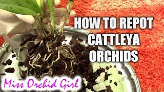 How to repot a Cattleya orchid