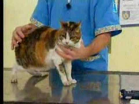 veterinaria  - Leucemia Felina