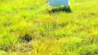 真っ白の盲目犬のターシャちゃん♪保護されセ低血糖感知アラート犬に