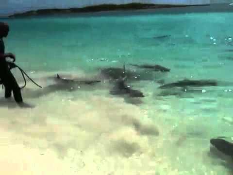 Tubarão das Bahamas