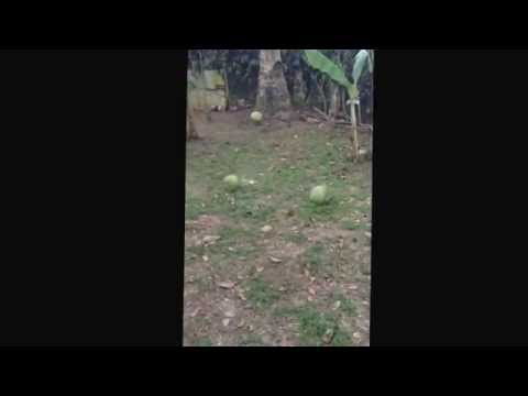 How to climb a coconut tree - Amadeo, Cavite, Philippines