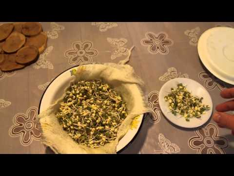 Как прорастить маш зерно за 3 дня (вегетарианские блюда, зерно, соя, пшеница, ячмень)