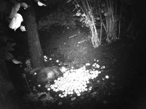 Lov divočáka vnoci.